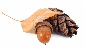 conifera gaudí